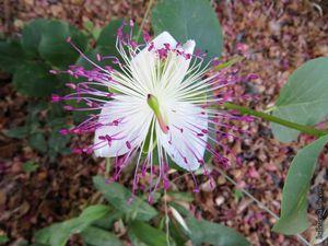 Fleurs de câpriers