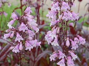 Penstemon digitalis 'Pocahontas'