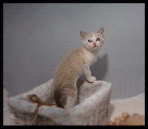 Jypsie, chaton femelle de deux mois, à l'adoption -> adoptée