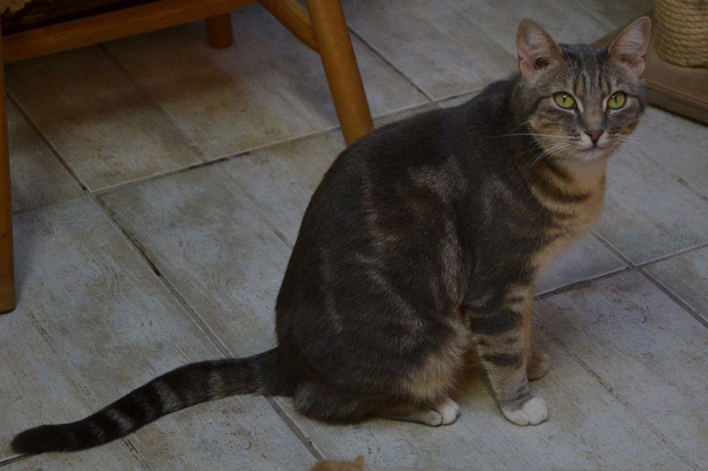 Elle est adoptée :  MIMICHE, chatte tigrée stérilisée de 4 ans