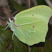 lepinet.fr - Gonepteryx rhamni - Le Citron