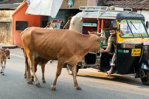 Le mythe de la vache sacrée