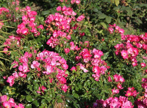 Découvrez le rosier 'Avalanche Rose'