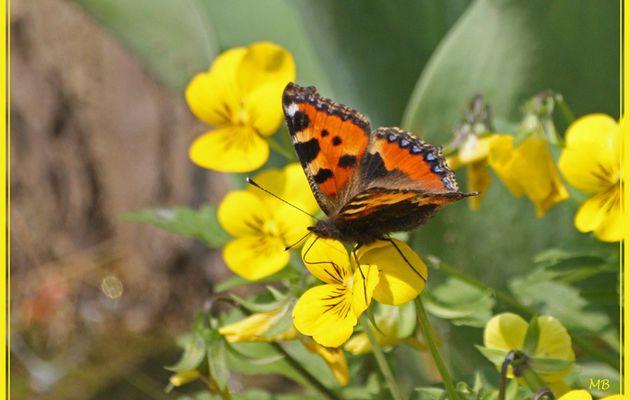 Papillon : la petite tortue (Aglais urticae)