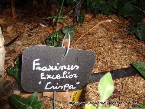 Fraxinus excelsior 'Crispa' Famille: Oleaceae Frêne nain au port particulièrement compact. Branches et feuilles tortueuses. Feuilles épaisses, vert foncé, trapues. Hauteur Max. de 2m.