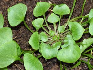Et voilà : Il suffit de récolter les jolies feuilles fraîches et croquantes pour obtenir une belle petite salade, même en hiver