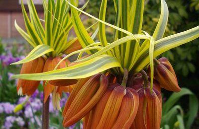 Fritillaria imperialis Aureomarginata