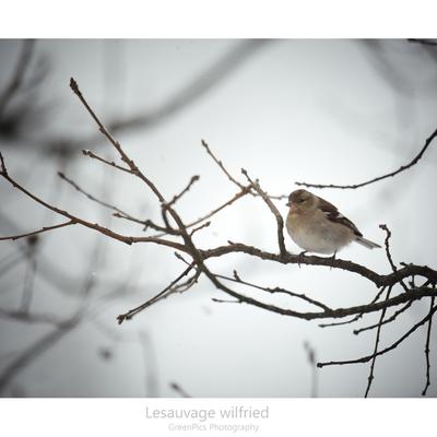 boules de neige et de plumes ... Pinson des arbres (Fringilla coelebs)