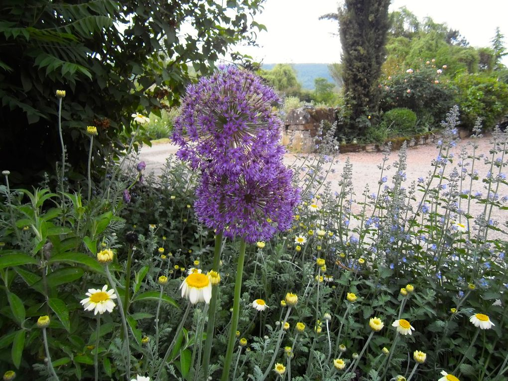 Allium 'Purple sensation' mi mai (4 photos)