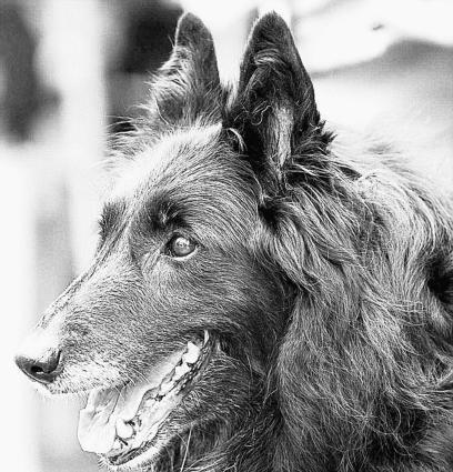 Le groenendael (noir à poils longs) est l'une des quatre variétés de la race du berger belge. (Photo DR - Le Télégramme)