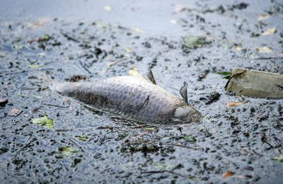 Ardennes : 3 tonnes de poissons morts