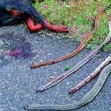 Un chien meurt en sauvant ses propriétaires de serpents tueurs en Inde
