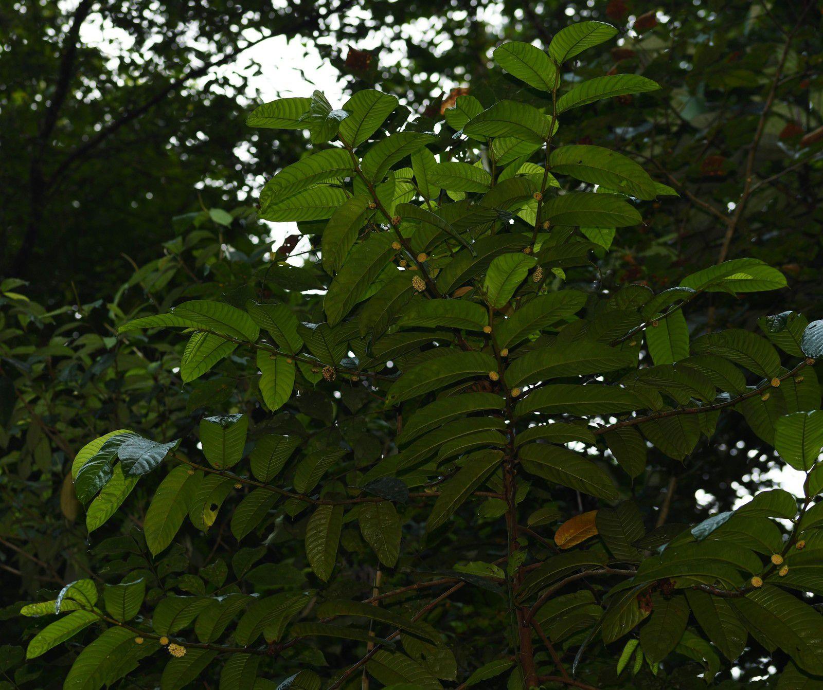 Perebea guianensis subsp. guianensis