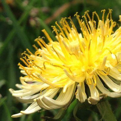 Une fleur de pissenlit pas comme les autres