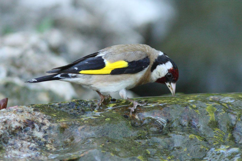 Bain des oiseaux dans mon jardin