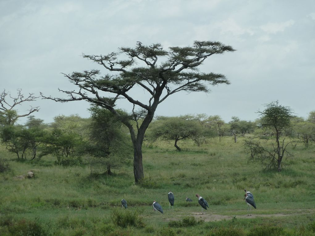 Tanzanie - Parc National de Serengeti. 2/3.