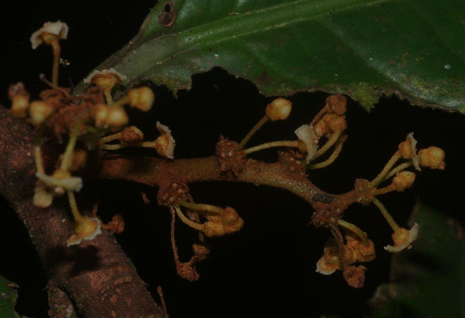Iryanthera hostmannii (moussigot)