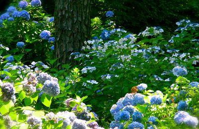 """Juin : Saison des hortensias, Ajisaï 紫陽花 ou """"fleurs soleils violets"""""""