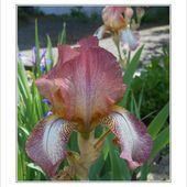 coquelicots et iris au jardin hier, - fleurs de mimipalitaf