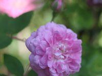 Kir royal  -  Laure Davoust   -  Luberon