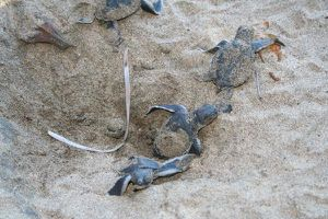 Emergence de tortues à Mayotte