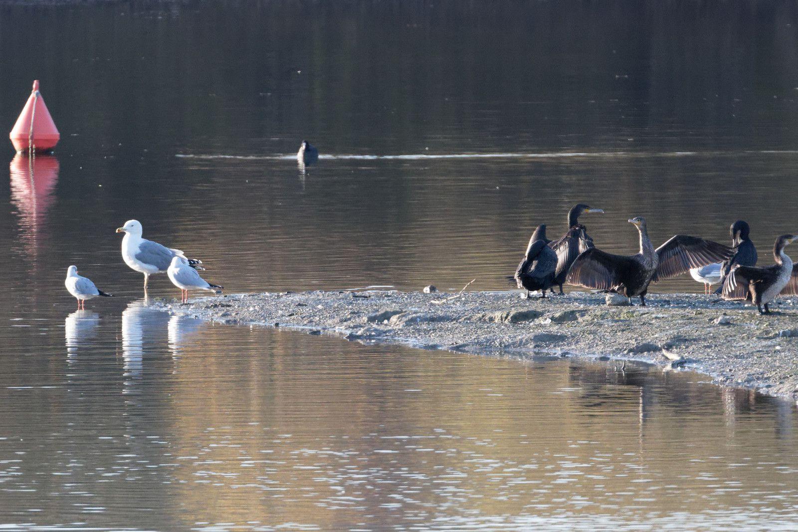 Goéland leucophée, Mouette rieuse et Grands cormorans