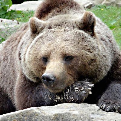 Brauner Bär liegt ganz Faul am Boden