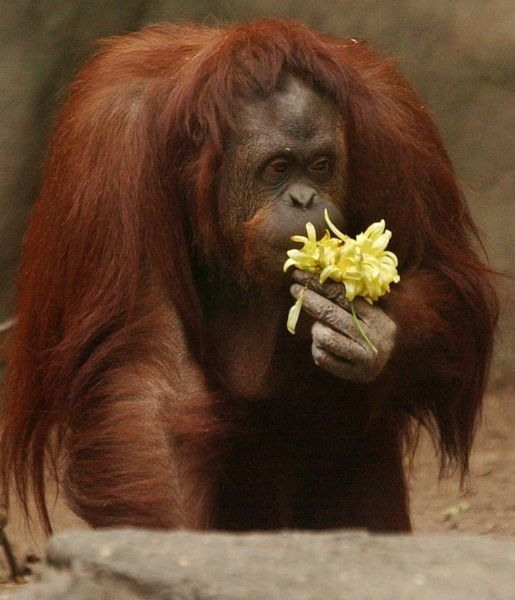 "An Argentine court has granted ""habeas corpus"" to a female orangutan at the Buenos Aires Zoo and recognised basic rights for her as a ""non-human individual"" to live in semi-freedom with other large primates."