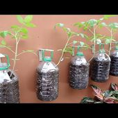Growing Tomatoes on Wall with Plastic Bottles - Easy Way for No Space at Home