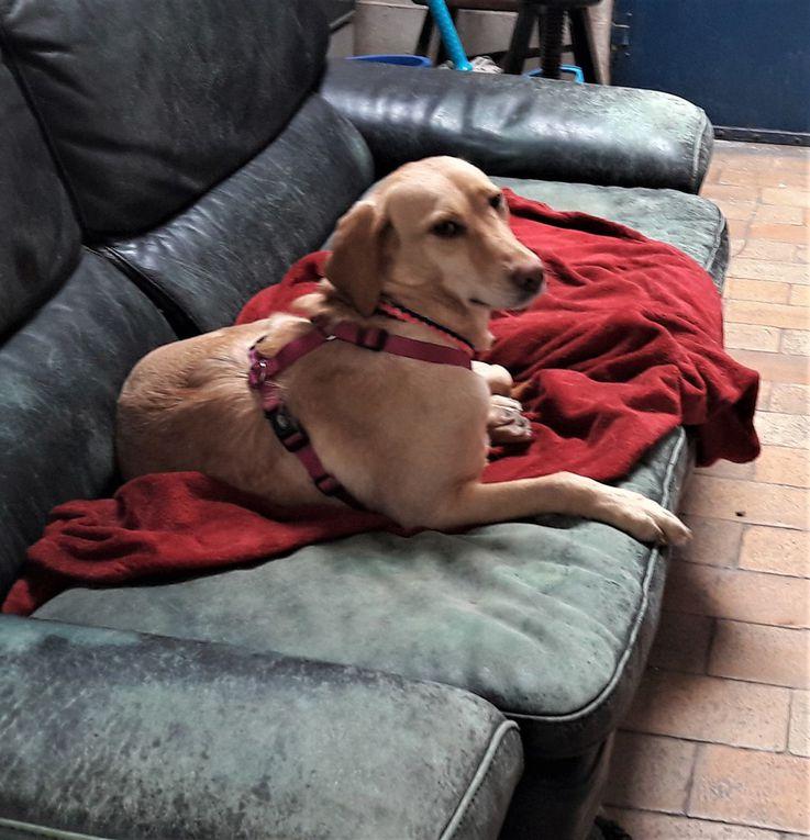 Elle est adoptée !!! HERMIONE magnifique croisée Labrador née en 2017