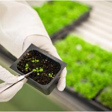 Des chercheurs stimulent l'absorption du zinc par Arabidopsis afin d'atténuer à terme la malnutrition