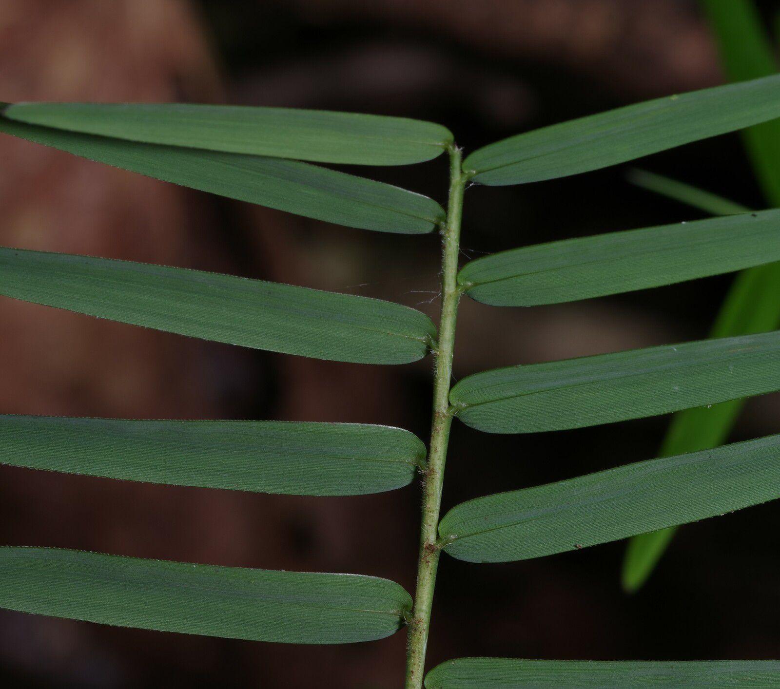 Raddia guianensis