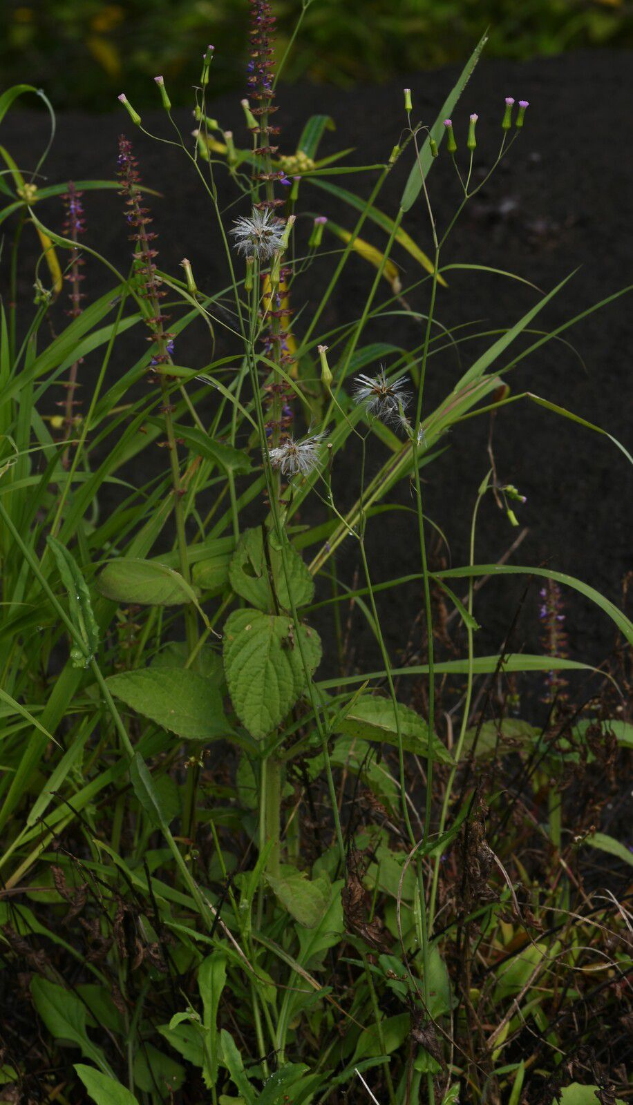 Emilia sonchifolia (salade madame Hector)