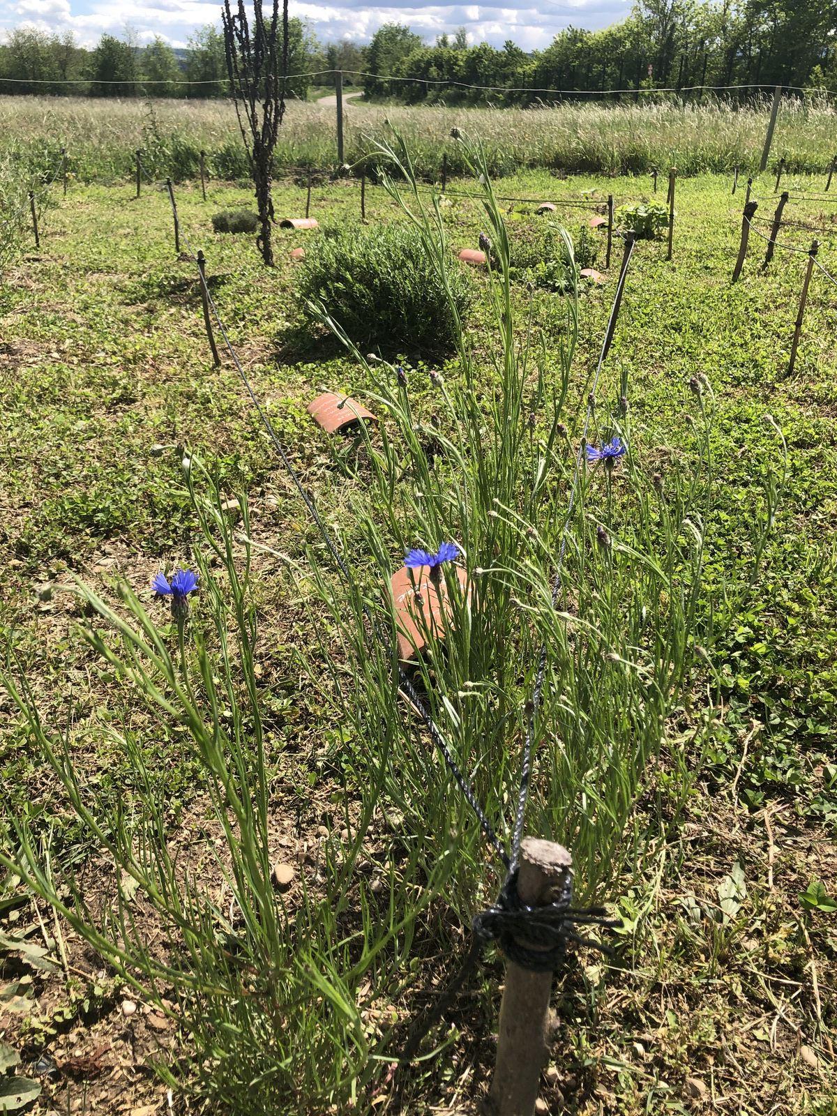 La consoude et les bleuets sont en fleur. la pluie a été très bénéfique.
