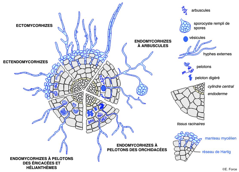 Figure 3. Les différents types de mycorhizes (illustration : E. Force, d'après F. Le Tacon, 1985). En bleu : éléments du champignon ; en gris : éléments végétaux.
