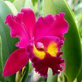 Fleurs du jour (21-04) - Orchidées en couleurs... - Noy et Gilbert en Thaïlande