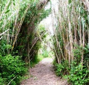 Passage au milieu des bambous.
