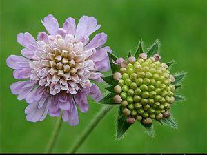 La floraison de Knautia arvensis, également appelé Scabieuse des champs, correspond à des capitules en pelotes ébouriffées bleu lilacé clair.