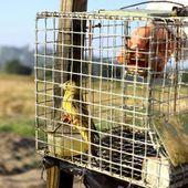 Des oiseaux engraissés dans le noir puis noyés dans l'armagnac: le cruel sort des ortolans