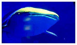 faune : Chondrichtyens : Orectolobiformes (requin baleine ...)