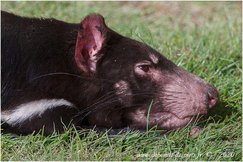 Bien qu'il s'agisse d'animaux nocturnes, les diables de Tasmanie aiment se reposer au soleil