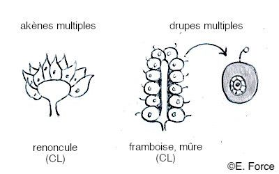 Les différents types de fruits multiples en coupe longitudinale (illustration : E. Force). CL : coupe longitudinale.