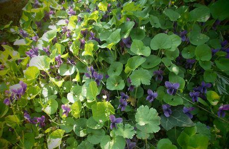 Simples violettes