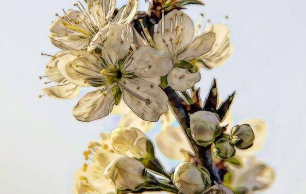 Fleurs de mirabelles _88