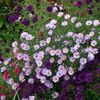 asters et compagnie