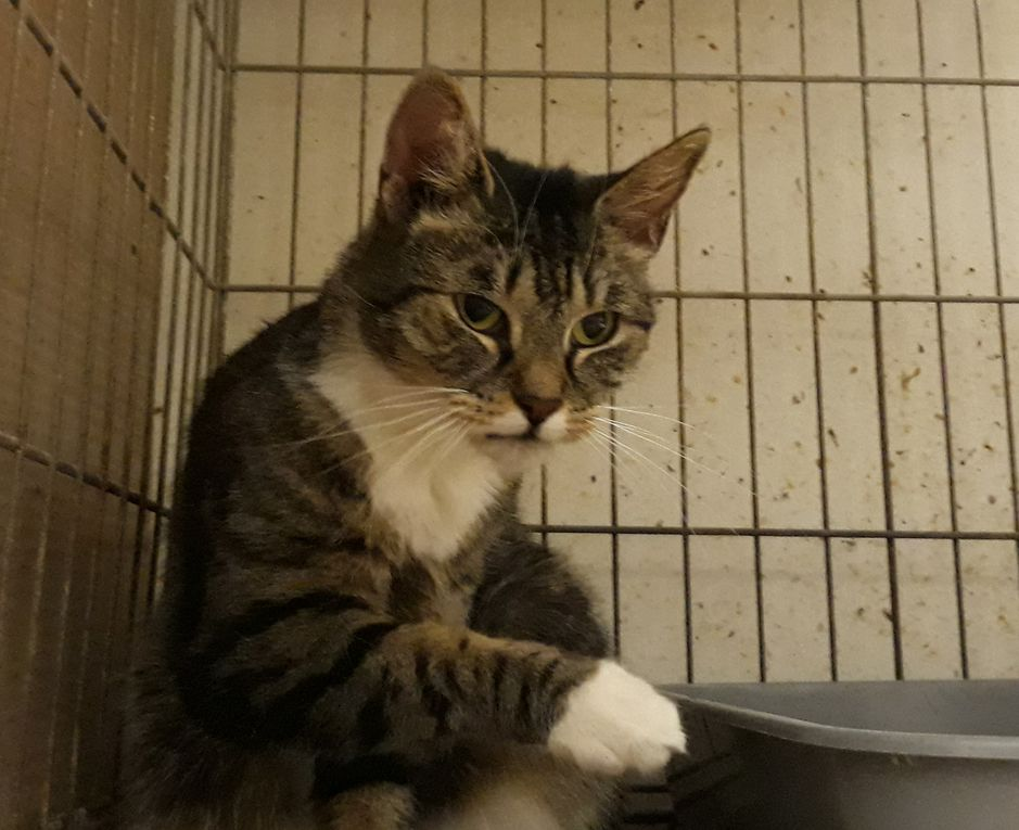 A parrainer et adopter après socialisation : SUZY, petite chatte stérilisée de 3 ans