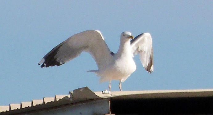 oiseaux à Palavas
