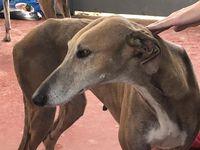 levrier galga d'Espagne de 5 ans a  adopter en france chez sos chiens galgos