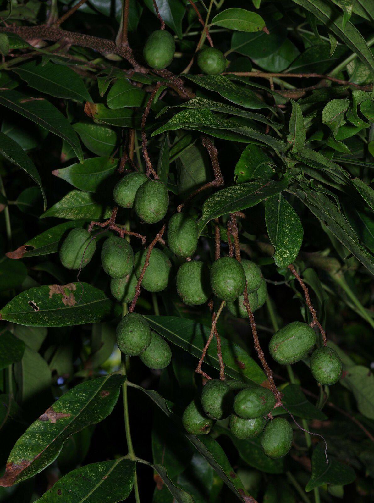 Spondias dulcis (prunier de Cythère)