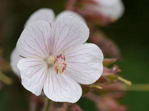 C'est la grande fête des géraniums vivaces. Ils poussent partout : je les sème et ils se ressèment !